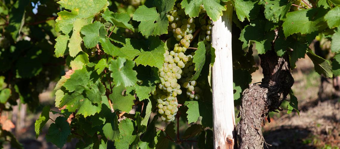Rebstock mit Weintrauben